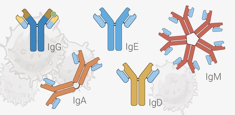 CMHE Marketing Image - Immunoglobulins